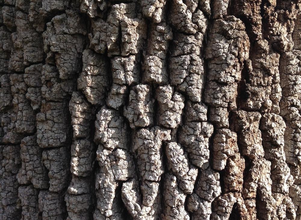 Freixo (Fraxinus angustifolia)