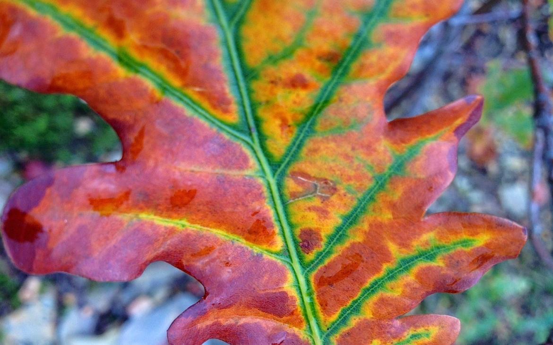 Os vermelhos e amarelos a dominar uma folha de carvalho-alvarinho