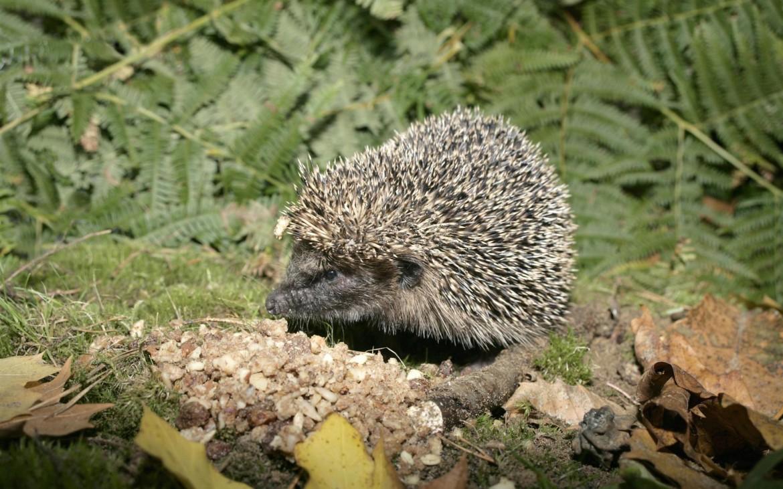 Ouriço-cacheiro (Nigel Blake, RSPB)