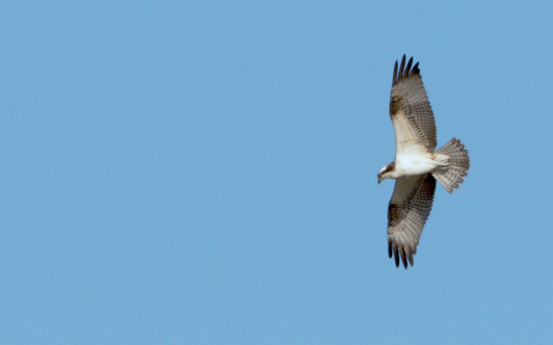 Águia-pesqueira em voo (fotografia de José Sousa)