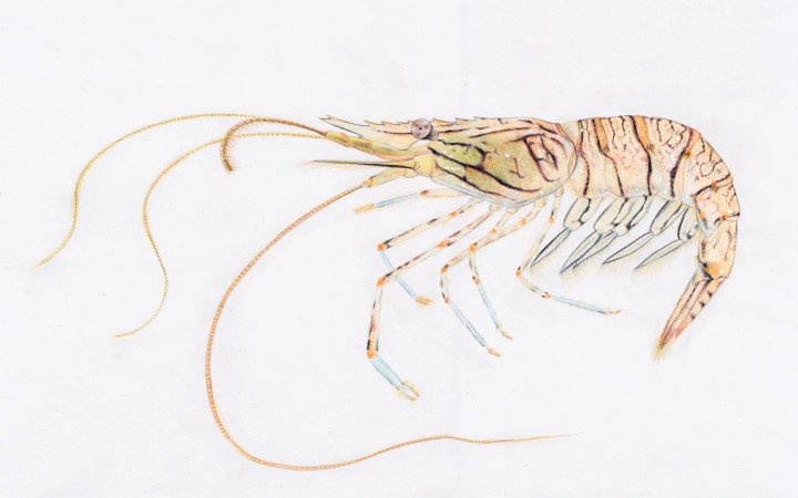 Palaemon_elegans (4)