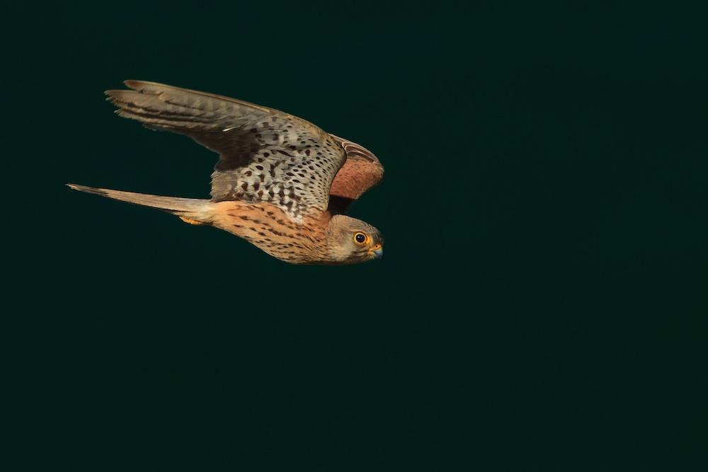 Categoria C: Aves 1º lugar: ''Peneireiro em voo', de Eduardo Jorge Pereira Barrento