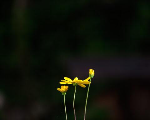 flores amarelas num fundo preto