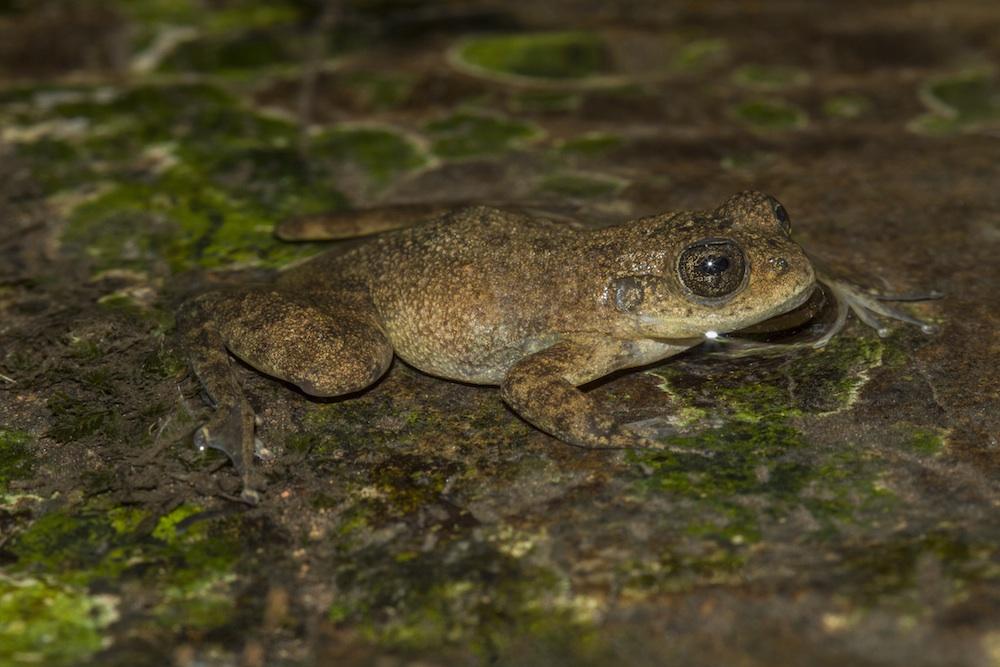 A Mantidactylus pauliani é uma espécie criticamente ameaçada pela destruição do habitat. Existe apenas no maciço de Ankaratra, onde a prevalência de quitridio foi de 100% Fotografia: Gonçalo M. Rosa
