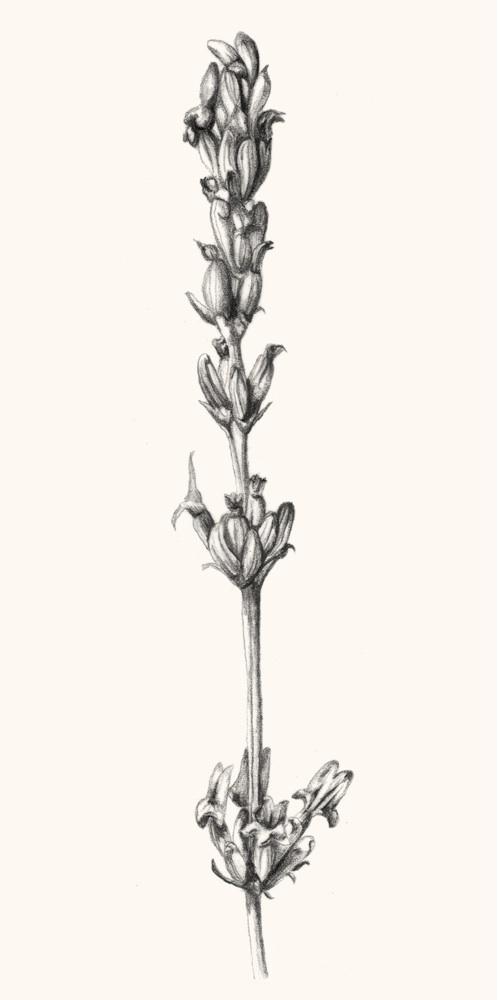 Lavandula latifolia Medicus