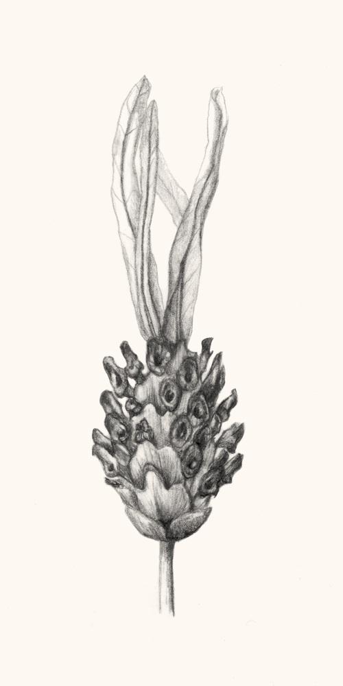 Lavandula pedunculata