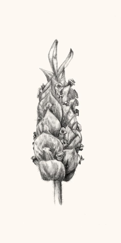 Lavandula viridis