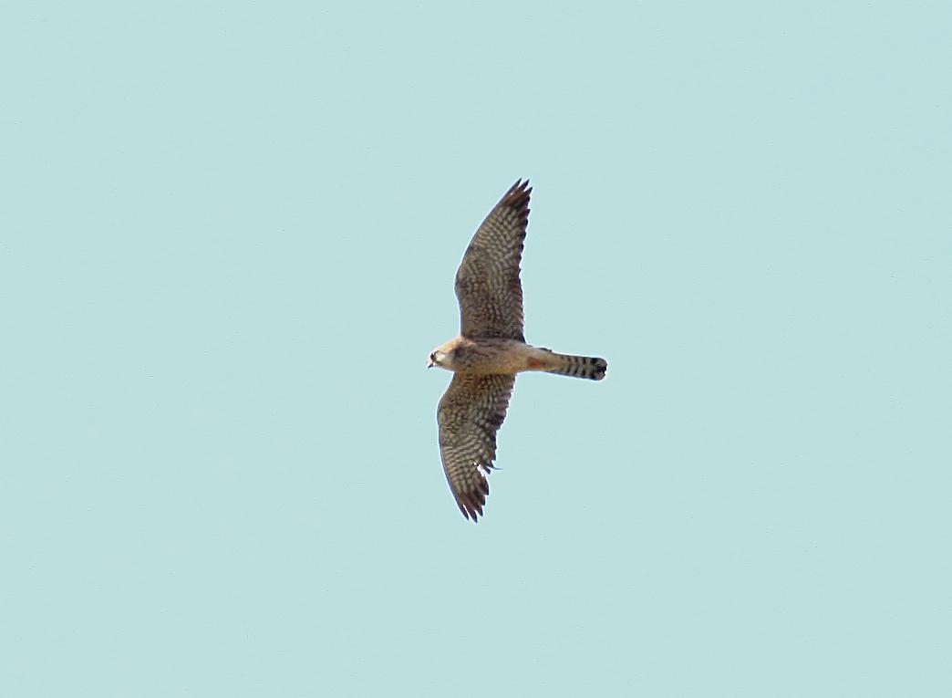 Falcão-de-pés-vermelhos. Fotografia: Gonçalo Elias