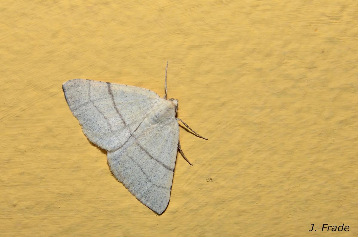 Adactylotis gesticularia. Fotografia: José Frade
