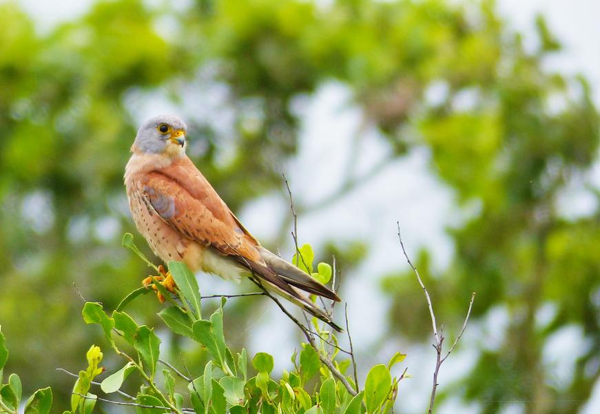 Francelho. Foto: Bernard Dupont/Birdlife Europe