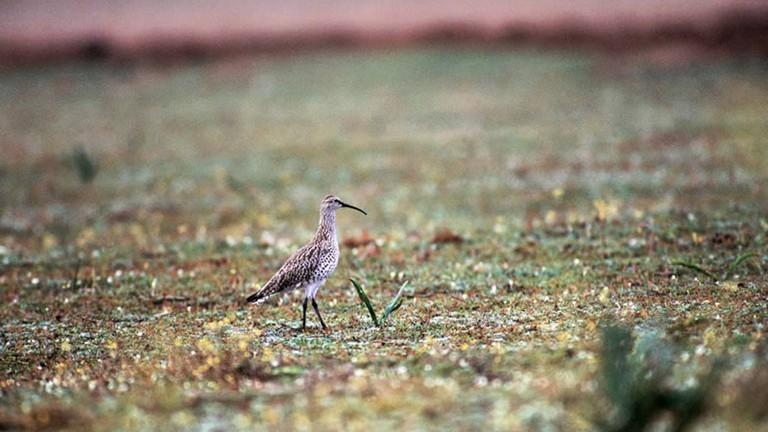 Maçarico-de-bico-fino. Foto: RSPB/Birdlife Europe