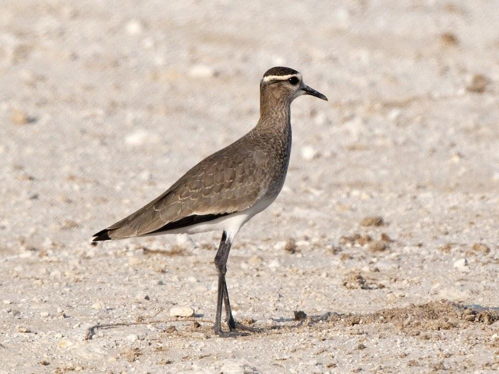 Abibe sociável. Foto: Adrian Drummondhill/Birdlife Europe