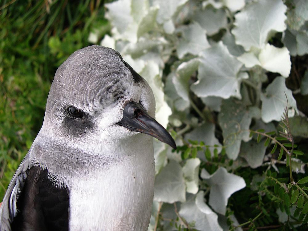 Freira-da-madeira. Foto: Filipe Viveiros/Birdlife Europe