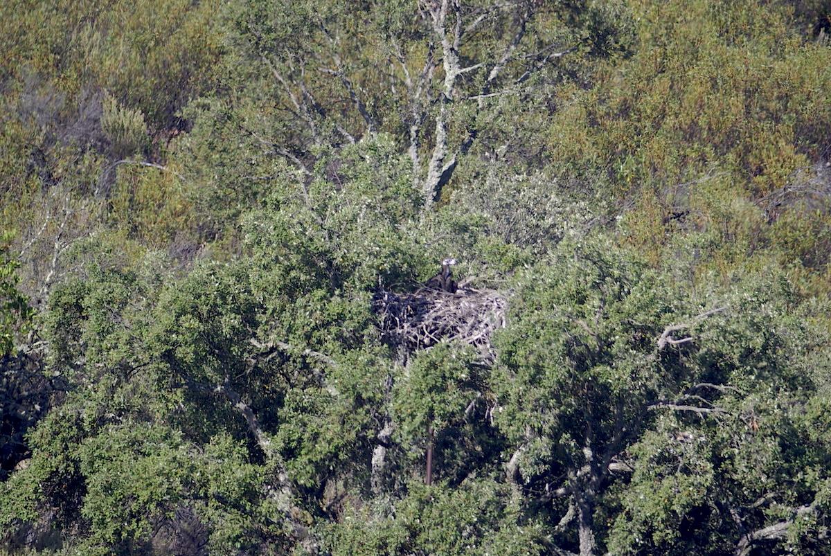 Cria de abutre-preto na Herdade da Contenda. Foto: LPN