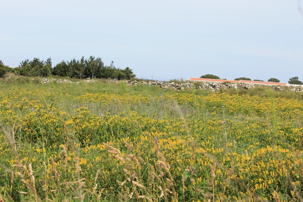 Campo de meliloto (Mellilotus officinalis)