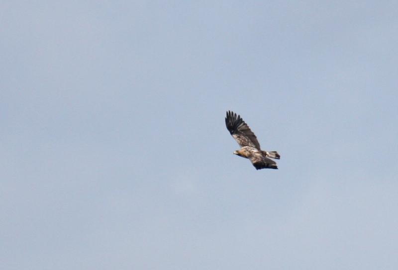 Águia-imperial ibérica imatura. Foto: Carlos Pacheco