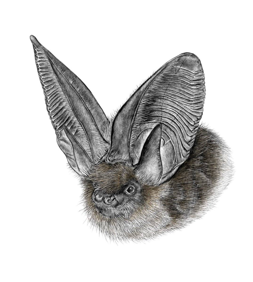 Morcego-orelhudo-cinzento. Ilustração: Lúcia Antunes