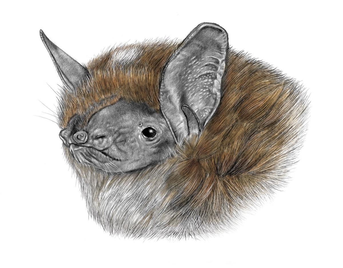 Morcego-rato-pequeno. Ilustração: Lúcia Antunes