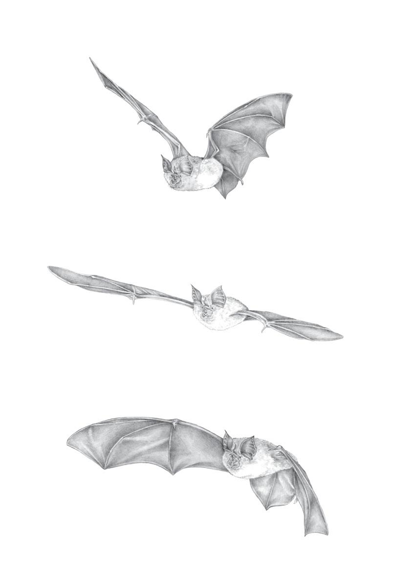 O voo do morcego. Técnica a grafite. Ilustração: Lúcia Antunes
