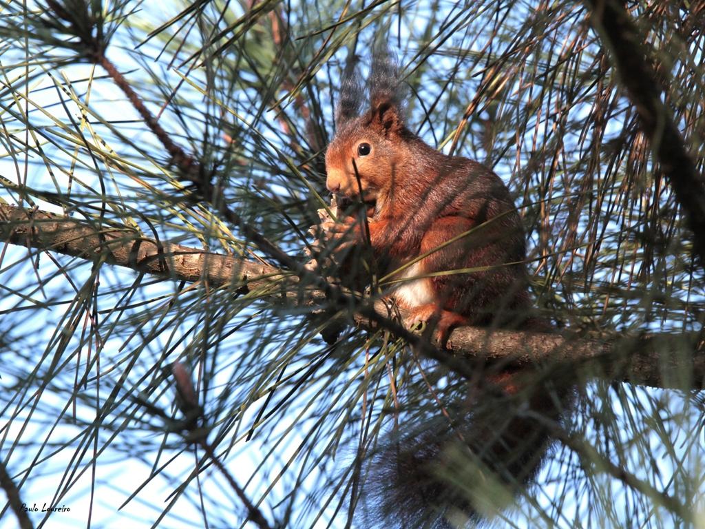 um esquilo-vermelho com as quatro patas no chão