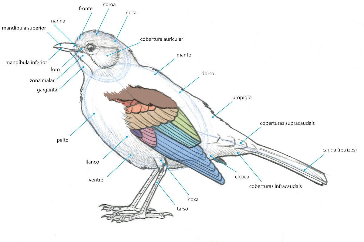 Bird of prey anatomy