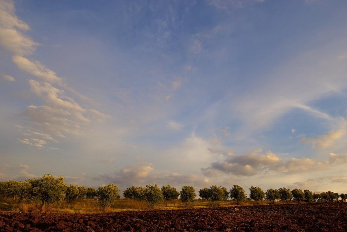 Olival (Olea europaea) ao fim da tarde, Inverno
