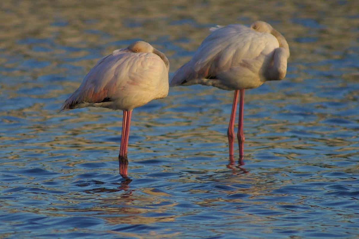 Flamingos-comum (Phoenicopterus roseus) descansando numa salina ao final do dia. Reserva Natural do Estuário do Tejo, Inverno