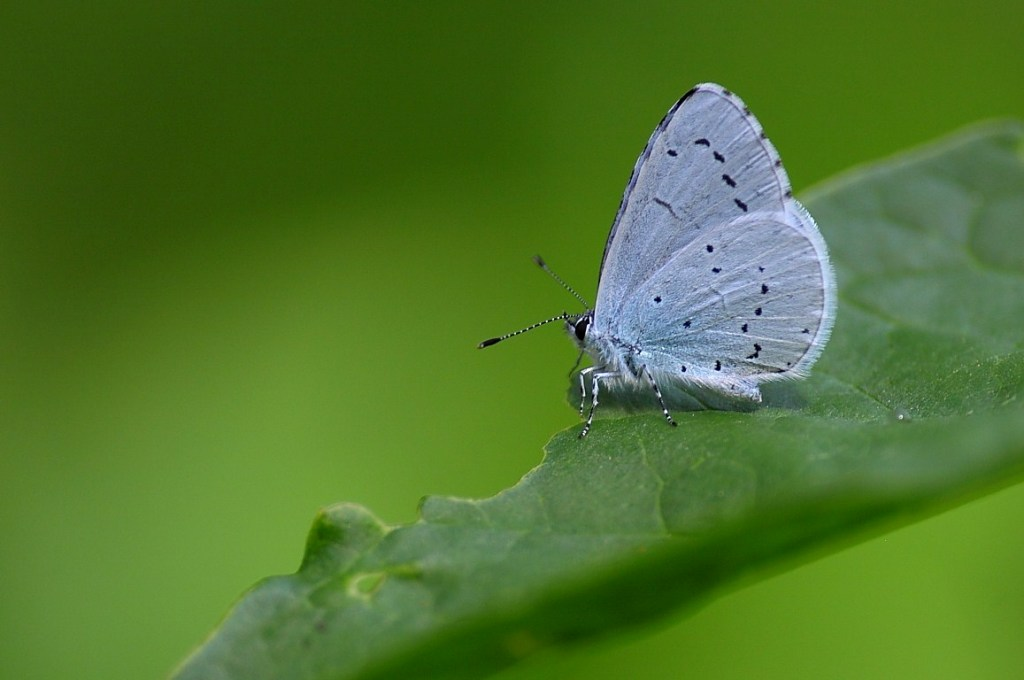 Borboleta-azul-celeste (Celastrina argiolus). Foto: ®Albano Soares