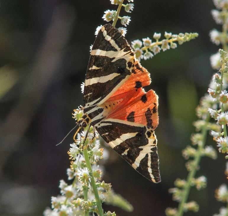 Euplagia quadripunctaria, na EBIO Vale do Bestança. Fotografia por: Rui Félix