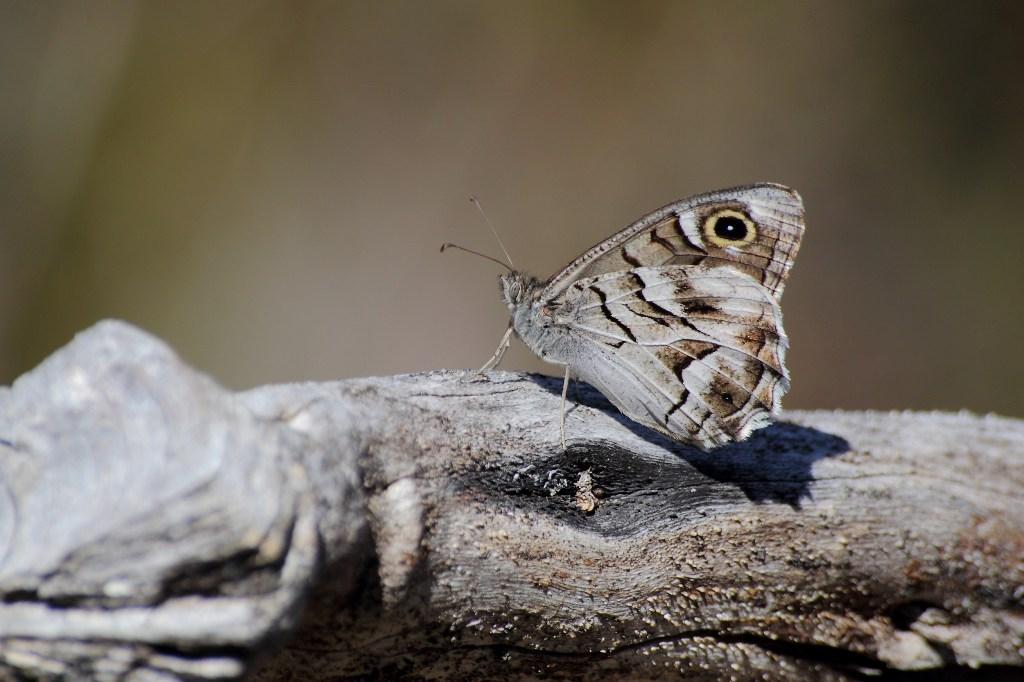 Borboleta-preta-zigzag (Hipparchia fidia). Foto: ®Albano Soares