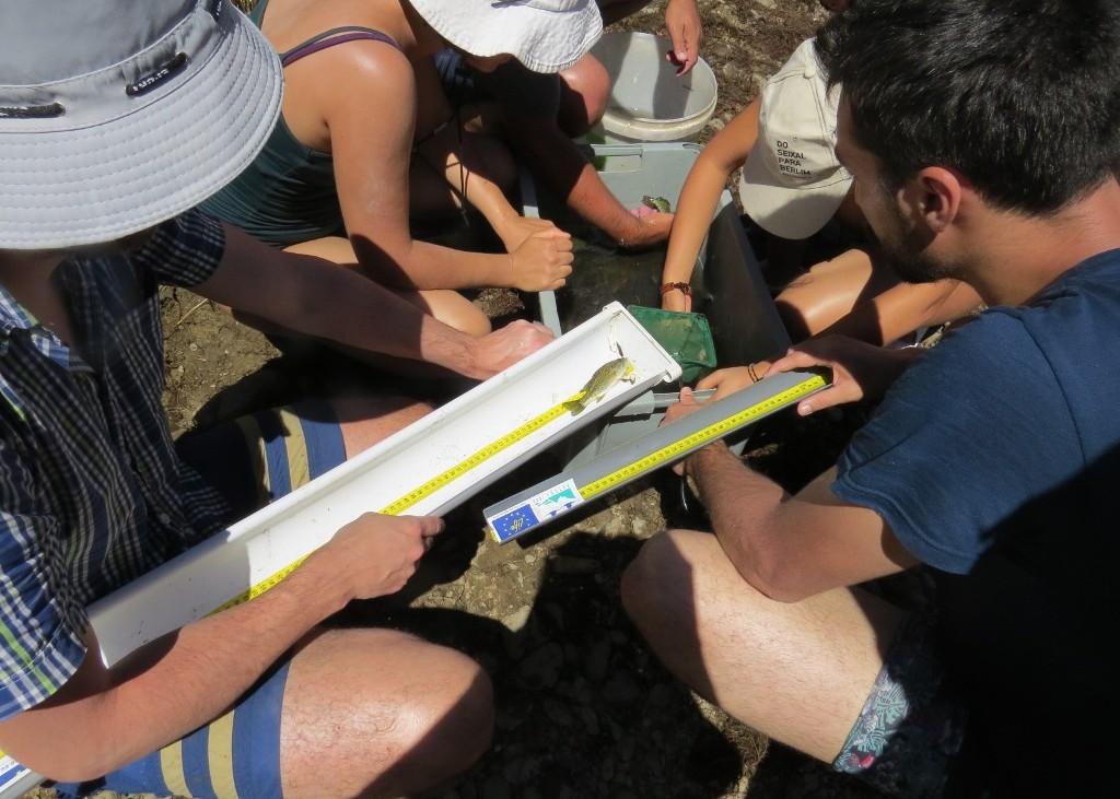 Voluntários medem um espécime exótico, achigã, sob a coordenação da equipa do projecto. Foto: LIFE Saramugo