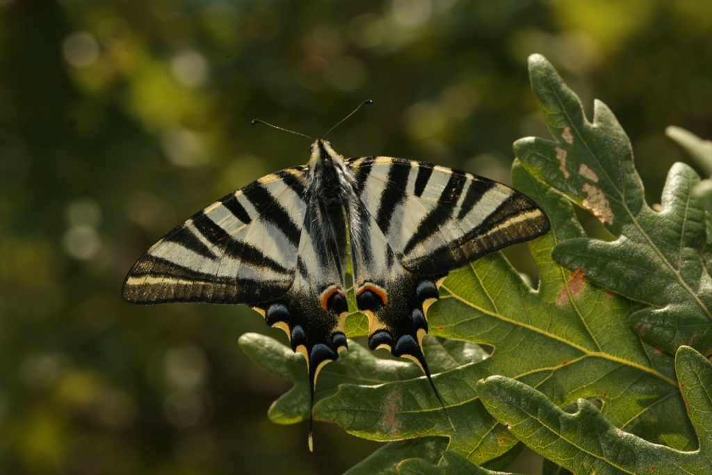 Borboleta-zebra. Foto: ®Frank Pennekamp