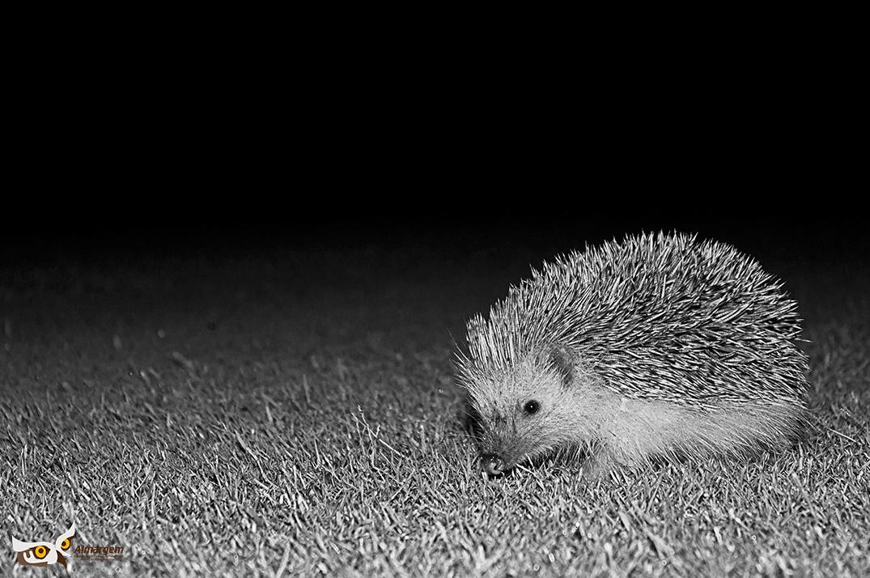 Num passeio nocturno pelo percurso da Quinta do Lago, é possível encontrar ouriços-cacheiros.