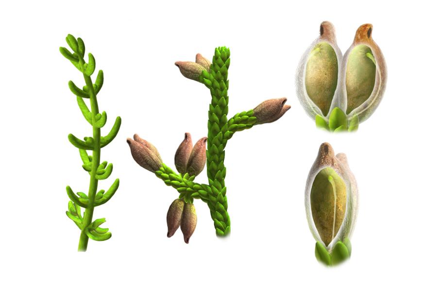 Ilustrações baseadas nos vestígios fósseis de Montsechia vidalii mostram como eram as folhas e sementes da planta. Foto: Oscar Sanisidro