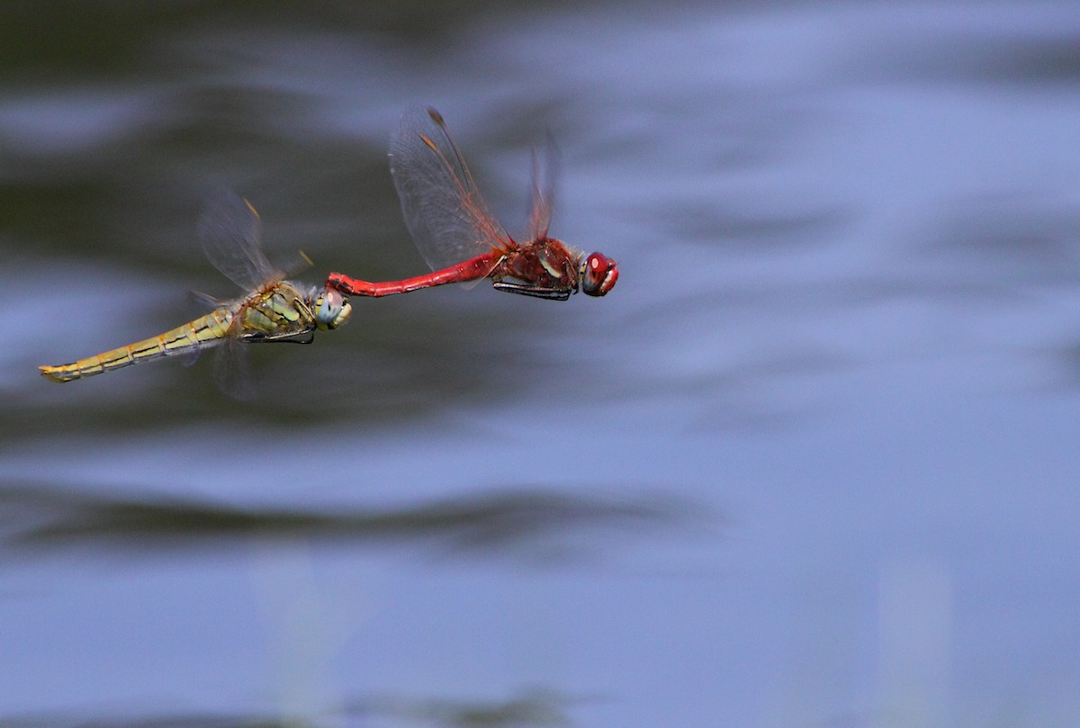 Libélula-de-nervuras-vermelhas (Parque Da Cidade do Porto). Foto: Albano Soares