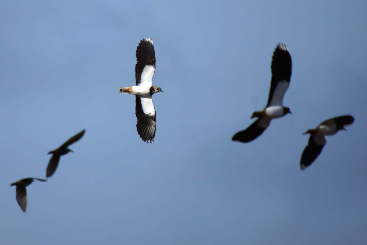 O abibe é uma das aves mais emblemáticas do nosso inverno. Foto: Gidzy/Creative Commons