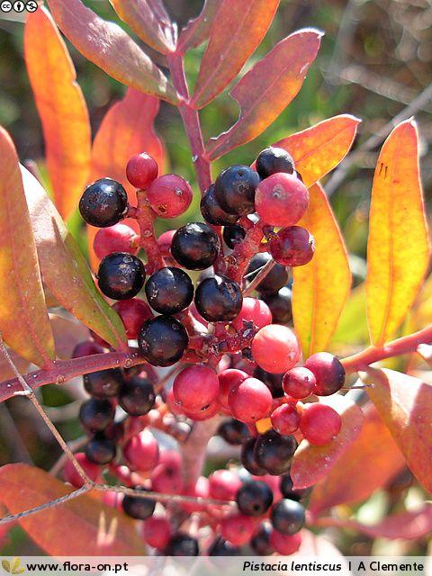 O que procurar no outono cinco bagas que d o cor aos for Especies de arbustos