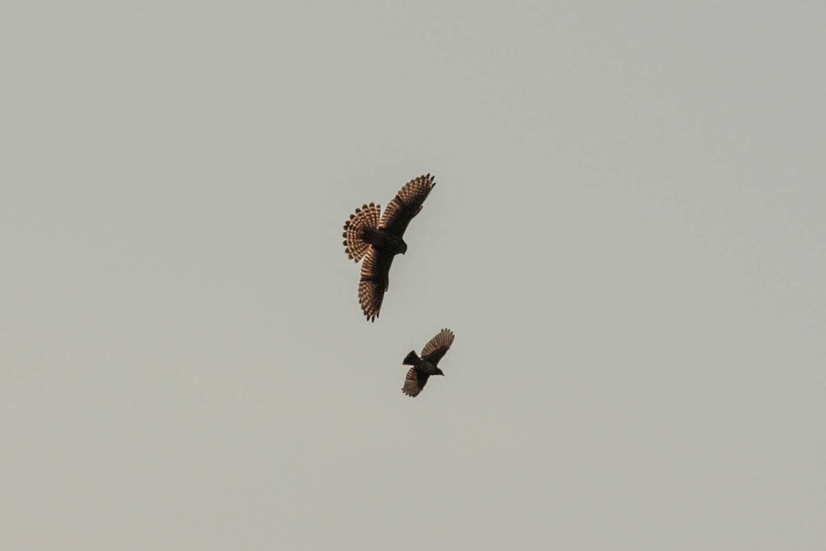 Esmerilhão em perseguição de uma Cotovia-montesina. Desta vez o predador levou a melhor. Foto: João Guilherme
