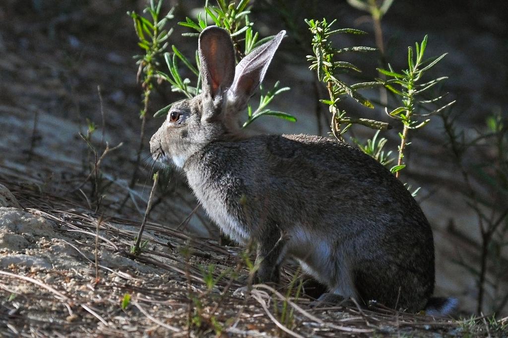 O coelho-bravo é um dos alimentos preferidos dos bufos-reais