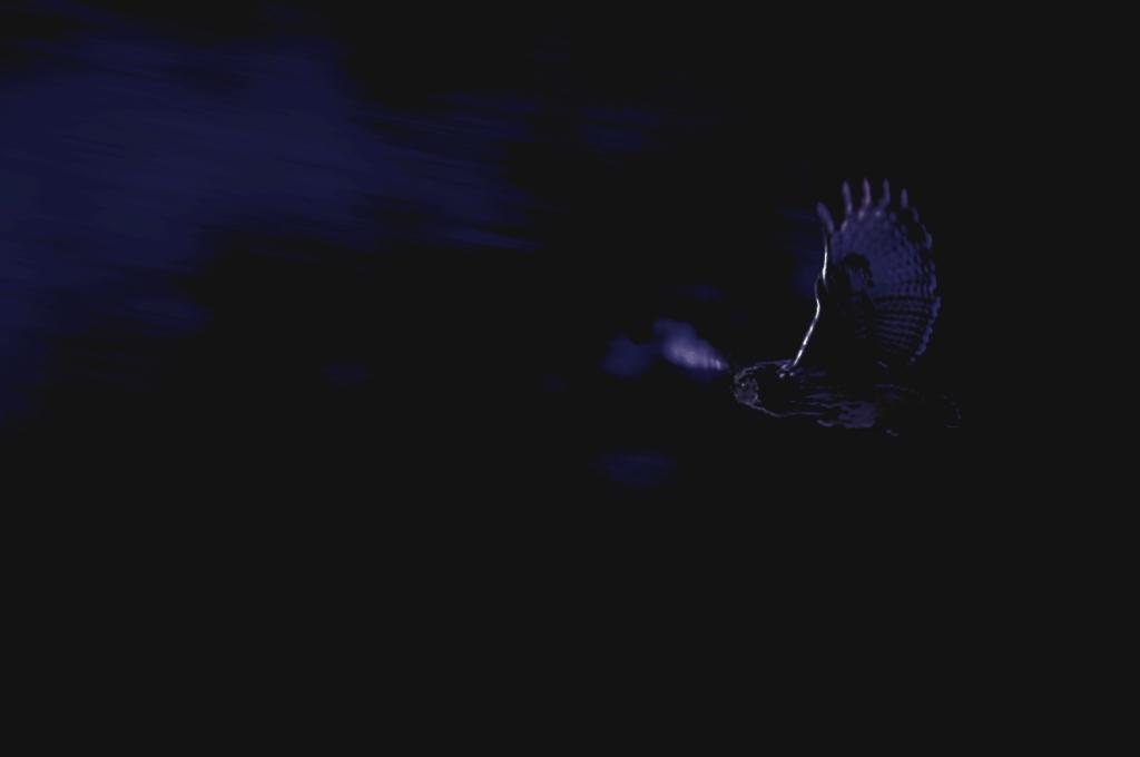 Um bufo-real em voo, durante a noite