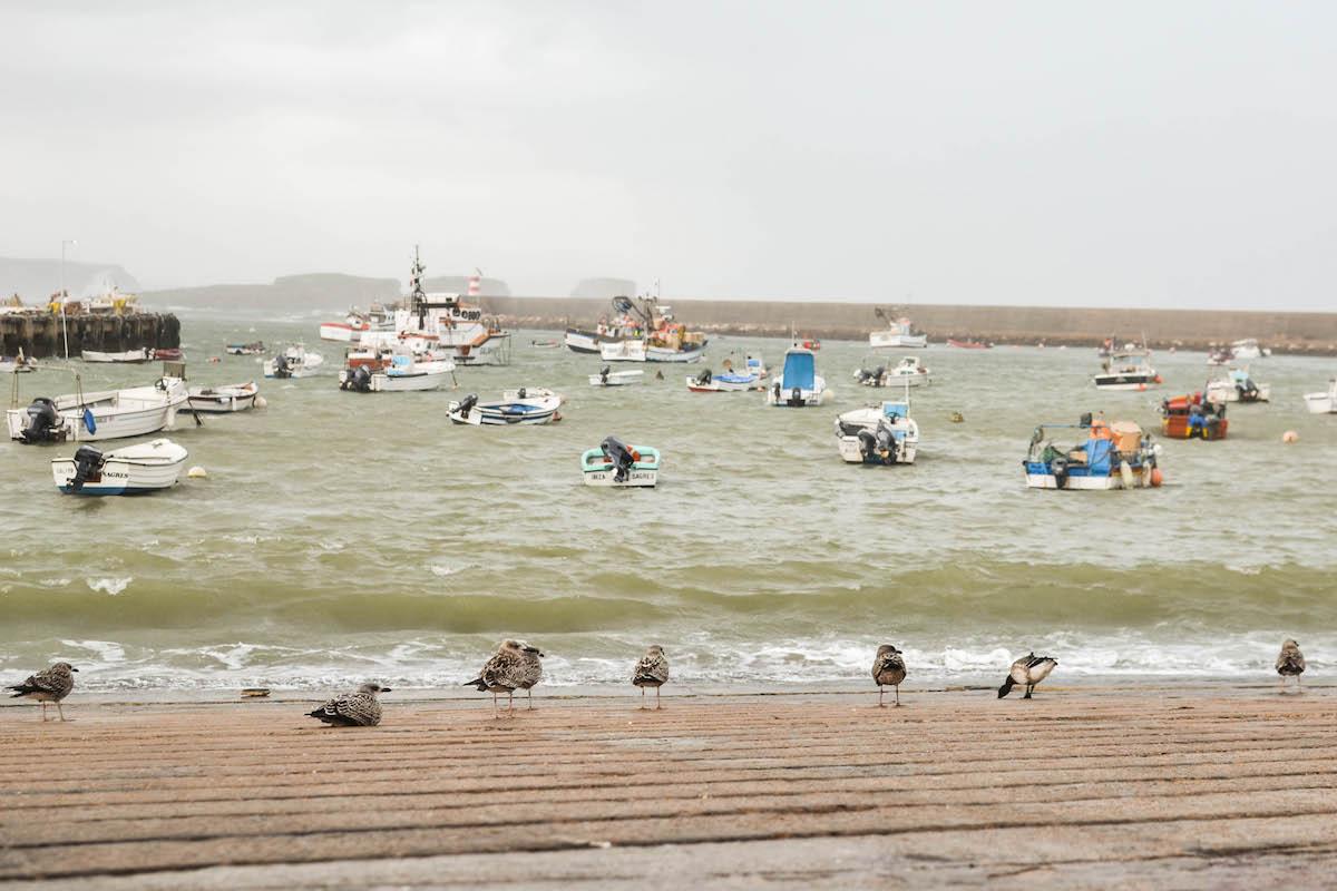 Ganso-de-faces-pretas entre gaivotas. Foto: Nuno Barros