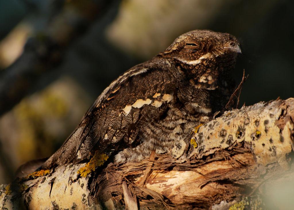 Noitibó-cinzento (Caprimulgus_europaeus). Foto: Jenny Th / Wiki Commons
