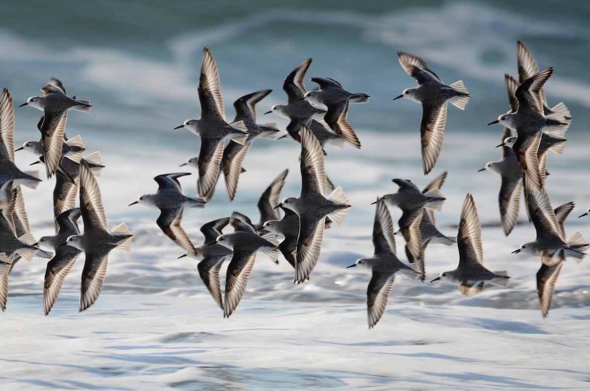 Pilritos-das-praias. Foto: José Frade