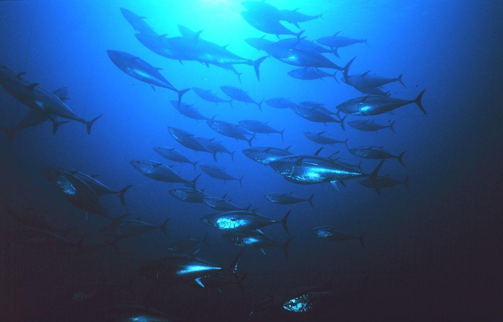 um-cardume-de-atuns-no-meio-do-oceano-azul