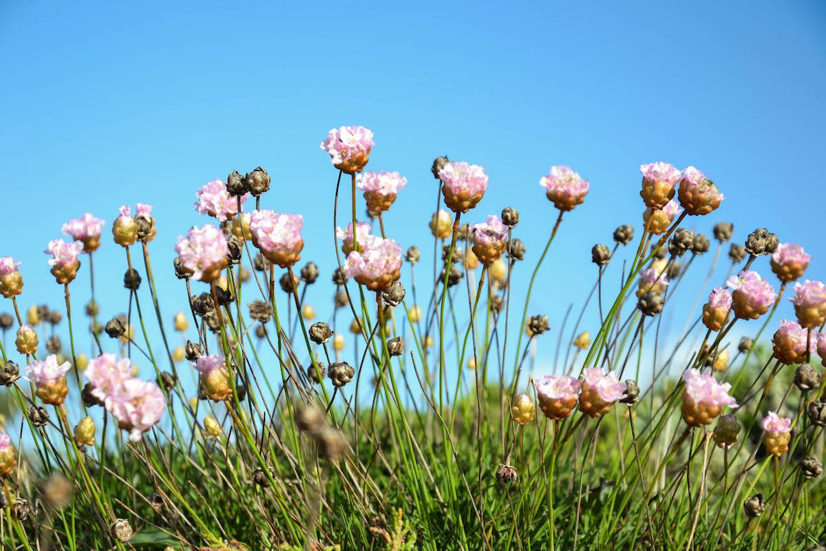 Cravo-das-areias em flor