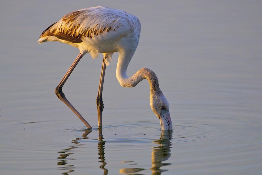 Flamingo-comum a alimentar-se nas salinas da Ria de Aveiro, fim da tarde. Foto: João Nunes da Silva