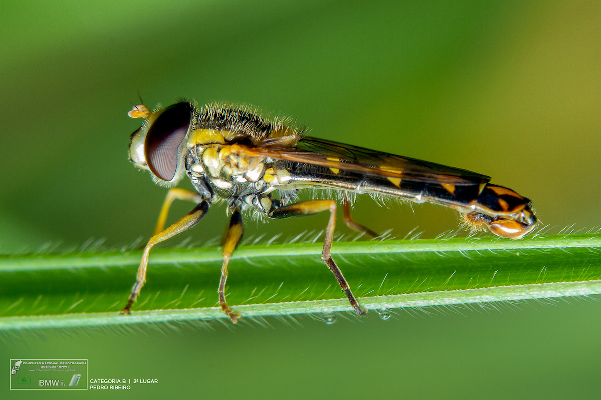 2º prémio na categoria Insectos e outros artrópodes. Foto: Pedro Ribeiro