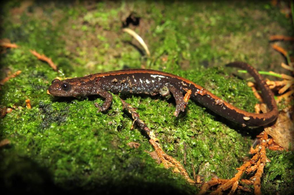 Salamandra-lusitânica (Chioglossa lusitanica), na Mata do Bussaco. Foto: Miguel Berkemeier