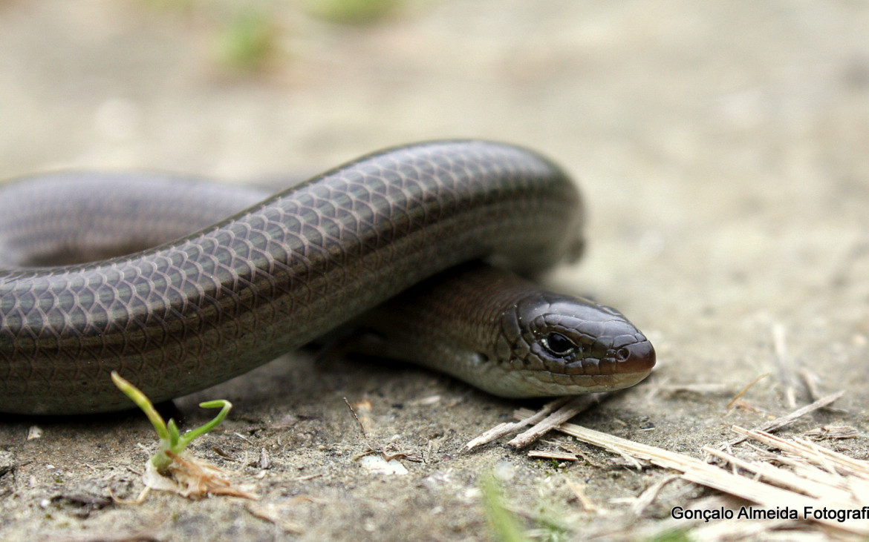 Cobra-de-pernas-tridáctila, na Arriba Fóssil da Caparica. Foto: Gonçalo Almeida