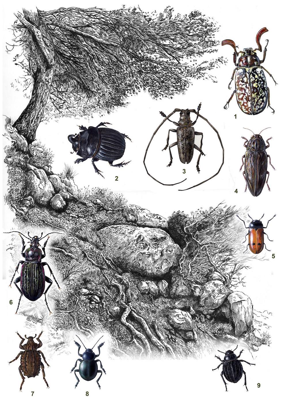 Coleópteros do pinhal litoral de Mallorca. Ilustração: Xavier Canyelles Ferra